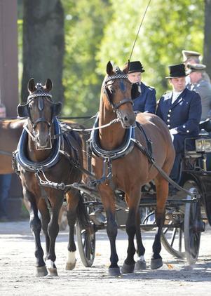 A team of Hanoverian horses pulling a wagon