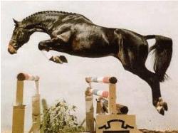 Hanoverian horse jumping