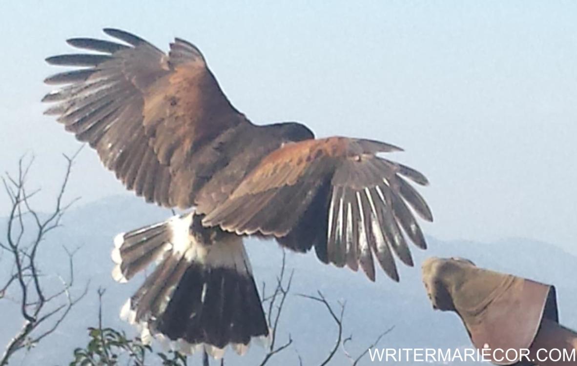 Falconry: Its History and Legacy | Writer Mariecor | WriterMariecor.com