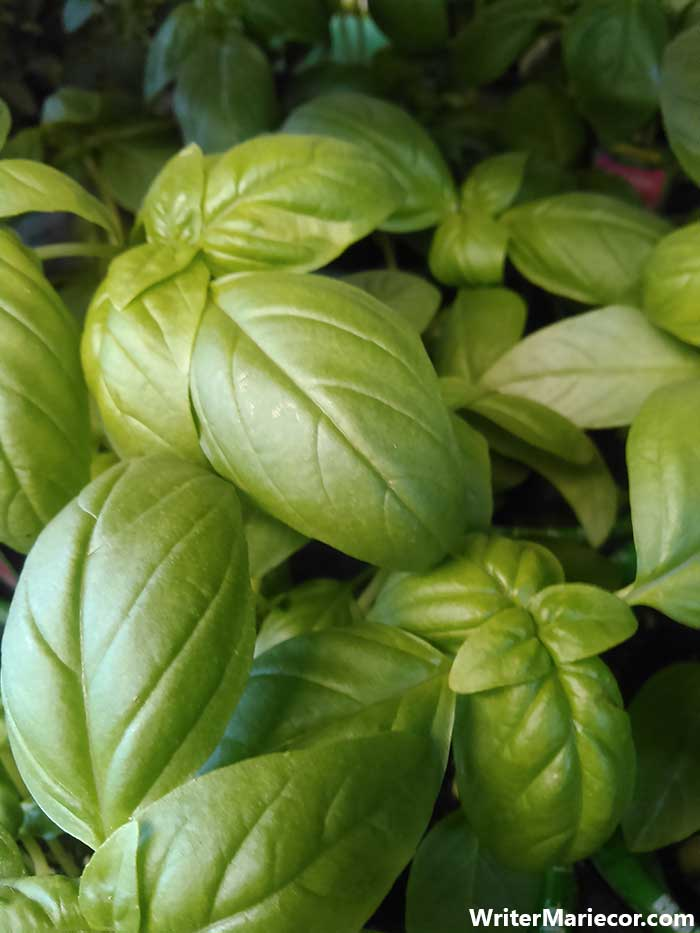 Basil | Plants That Repel Mosquitoes | WriterMariecor.com
