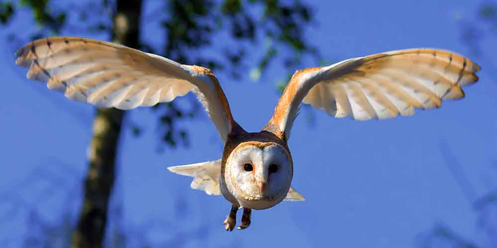 Barn Owl in flight I Writer Mariecor I WriterMariecor.com