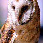 Barn Owl portrait | Writer Mariecor | WriterMariecor.com