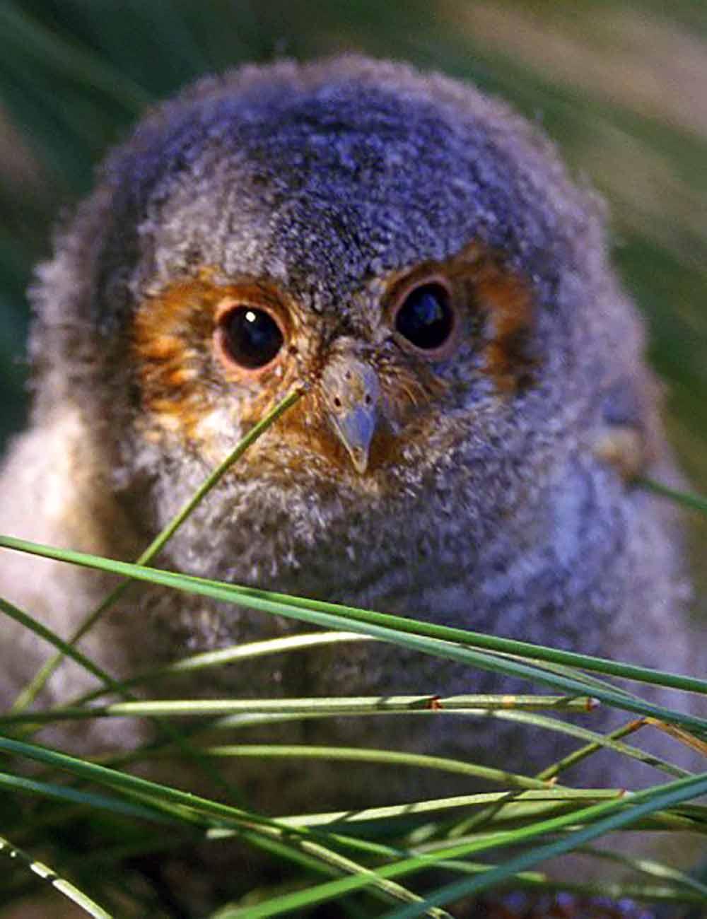 Owl Nestling I Writer Mariecor I WriterMariecor.com