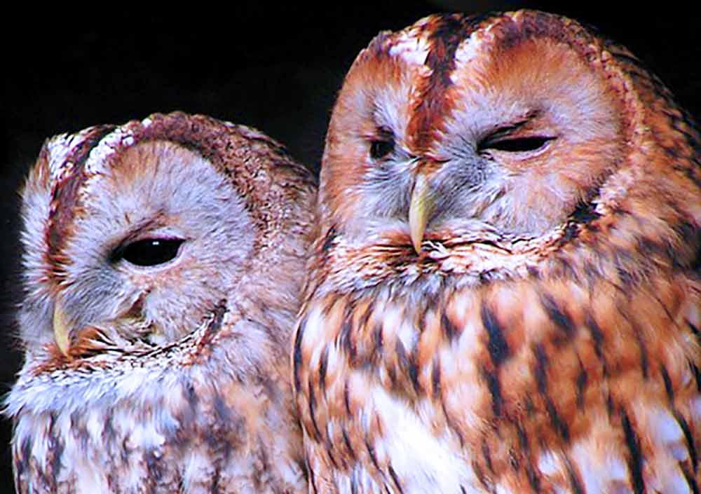 Owl Pair I Writer Mariecor I WriterMariecor.com