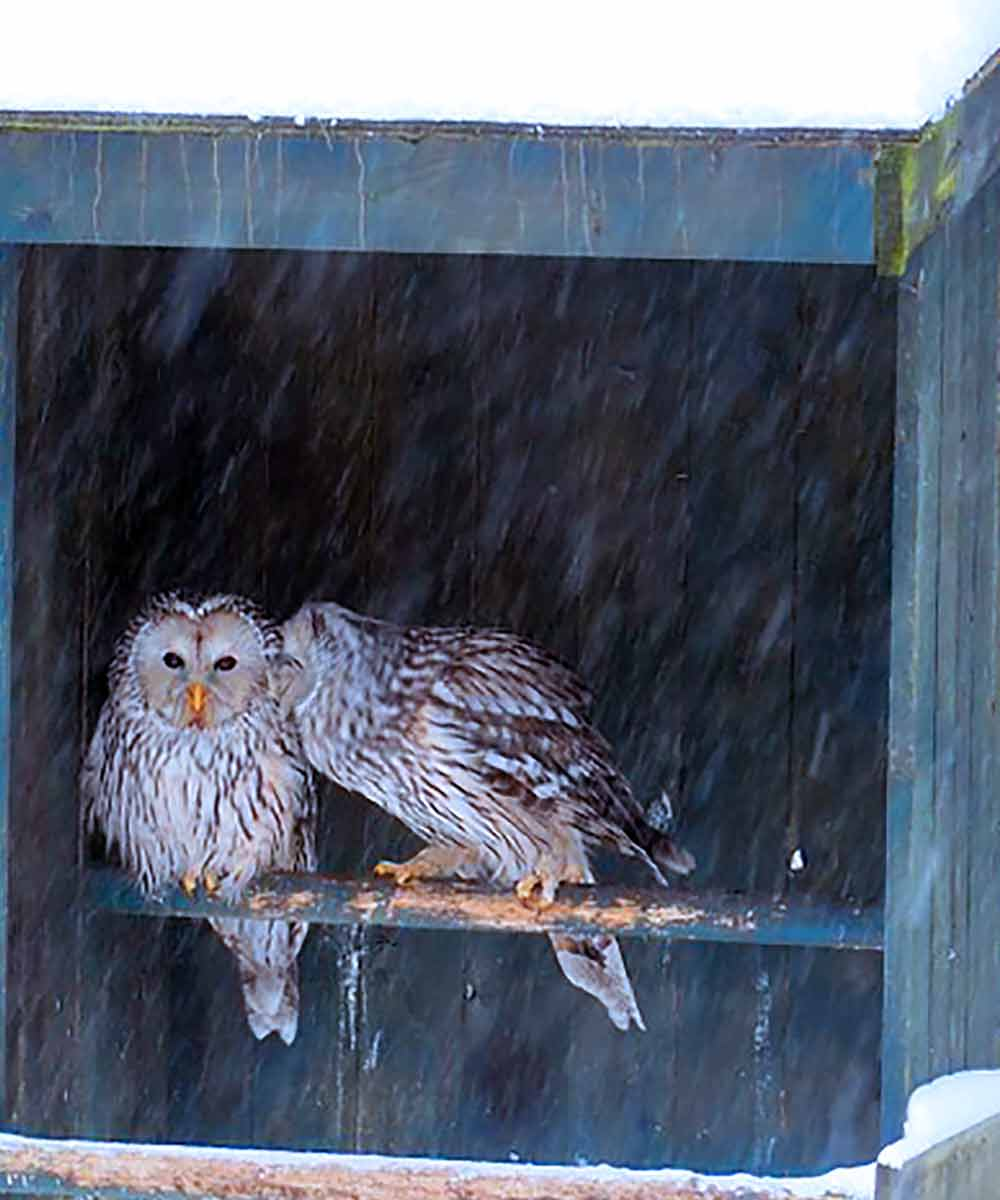 Owls in perch box during snowfall I Writer Mariecor I WriterMariecor.com