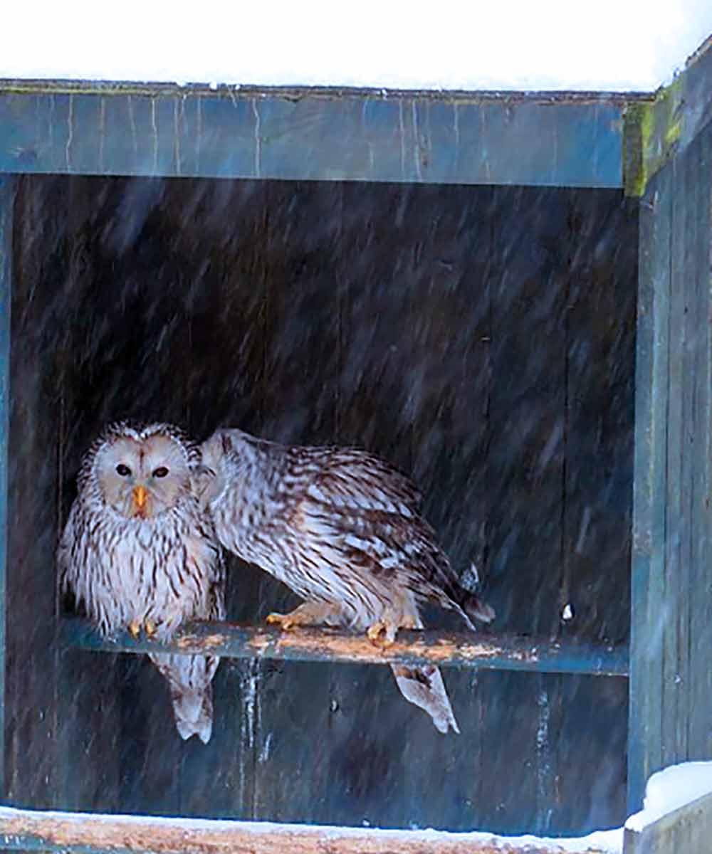 Owls in perch box during snowfall I Writer Mariecor I WriterMariecor.com