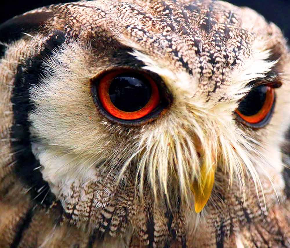 Screech Owl gaze I Writer Mariecor I WriterMariecor.com